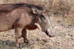 Warthog szuka jedzenie w sawannie - Namibia Afryka zdjęcie royalty free