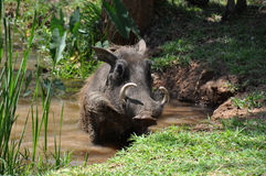 Warthog taking a bath Stock Photo