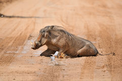 Warthog taking a mud bath Royalty Free Stock Images