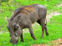 Warthog in tanzania national park Stock Photography
