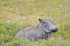 Warthog in tanzania national park Royalty Free Stock Photo