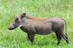 Warthog in tanzania national park Royalty Free Stock Photography