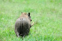 Warthog in tanzania national park Stock Image
