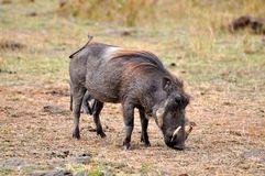 Warthog in tanzania national park Royalty Free Stock Images