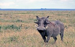 Warthog in tanzania national park Stock Photo