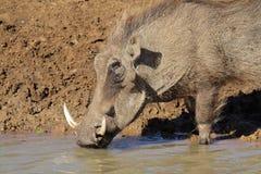 warthog TARGET1870_0_ woda Zdjęcie Royalty Free