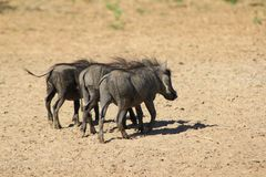 Warthog - Three little pigs went to town Stock Photos