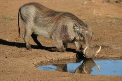 Warthog Trinken lizenzfreie stockbilder