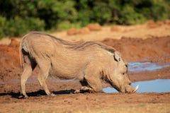 Warthog Trinkwasser Stockfoto