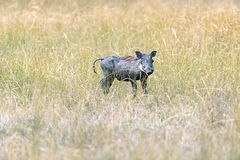 Warthog in tropical Kenya Royalty Free Stock Photography