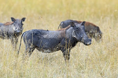 Warthog in tropical Kenya Royalty Free Stock Photos