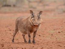 Warthog trwanie wciąż Obraz Stock