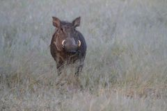 Portrait of a Warthog royalty free stock image