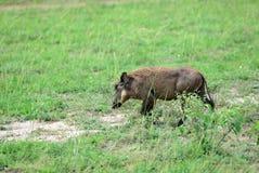 Warthog, Uganda, Africa Stock Image