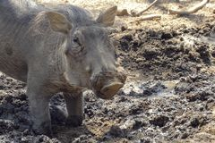 Warthog using nose to dig in african savannah stock image