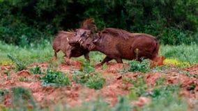 Warthog Ustawia 3 4 Fotografia Stock