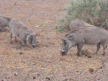 Warthog Vlakvark eating kneeling nature Stock Photo