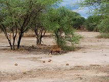 Warthog w Afryka safari Tarangiri-Ngorongoro Fotografia Stock