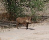 Warthog w Afryka safari Tarangiri-Ngorongoro Obraz Stock