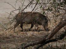 Warthog w Afryka safari Tarangiri-Ngorongoro Fotografia Royalty Free