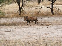 Warthog w Afryka safari Tarangiri-Ngorongoro Zdjęcie Stock
