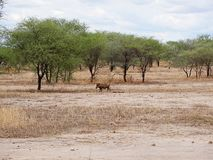 Warthog w Afryka safari Tarangiri-Ngorongoro Obrazy Stock