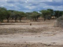 Warthog w Afryka safari Tarangiri-Ngorongoro Obrazy Royalty Free