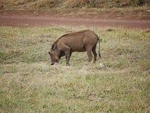 Warthog w Afryka safari Tarangiri-Ngorongoro Zdjęcie Royalty Free