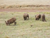 Warthog w Afryka safari Tarangiri-Ngorongoro Obraz Royalty Free
