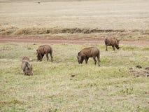 Warthog w Afryka safari Tarangiri-Ngorongoro Zdjęcia Royalty Free