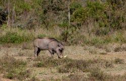 Warthog w dzikim Fotografia Royalty Free