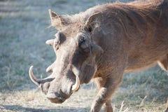 Warthog w krzaku Zdjęcie Royalty Free