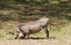 Warthog w krzaku Obraz Stock
