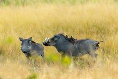 Warthog w Moremi rezerwie, Botswana safari przyroda zdjęcie royalty free