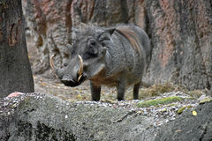 Warthog w naturalnym siedlisku Zdjęcia Stock