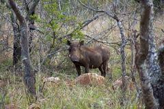 Warthog w Południowa Afryka Fotografia Royalty Free