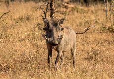 Warthog w Południowa Afryka na suchej równinie zdjęcie royalty free
