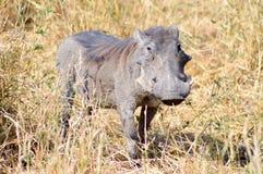Warthog w sawannie Fotografia Royalty Free