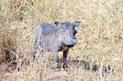 Warthog w sawannie Fotografia Stock