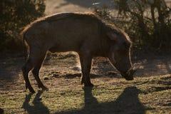 Warthog w wieczór świetle Fotografia Stock