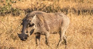 A warthog on the move stock photos