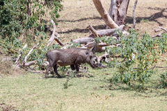 Warthog. Walking in the Mara Royalty Free Stock Photos