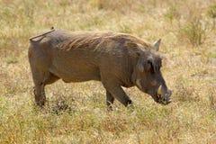 A warthog walking. A warthog (Phacochoerus africanus) grazing in Ngorongoro Conservation Area, Tanzania Stock Image