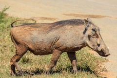 The Warthog walking Stock Images