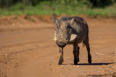 Warthog walking on raod Royalty Free Stock Photography