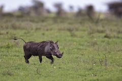 Warthog walking on the savannah Royalty Free Stock Photo