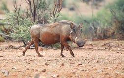 Warthog. A warthog walking on the savannah in Namibia Royalty Free Stock Photography