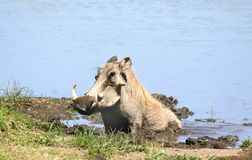 Warthog Wallowing. A warthog enjoys his envirionment - bathing in mud in the Ngorongoro Crater, Tanzania Stock Images