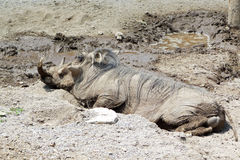 Warthog wallowing in mud Stock Photo