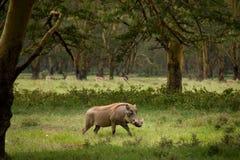 Warthog Stock Images